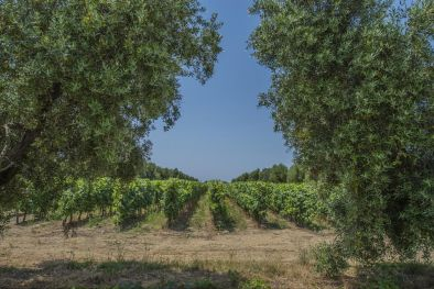BOLGHERI WINE ESTATE WITH CELLAR, VINEYARDS FOR SALE IN BOLGHERI, Bolgheri Sueperiore, Bolgheri DOC