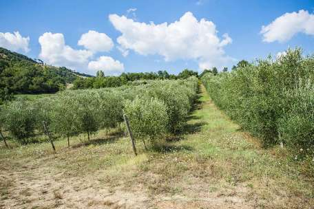 OLIVE GROVES FOR SALE IN ITALY | OLIVE OIL FARMS FOR SALE IN UMBRIA AND TUSCANY